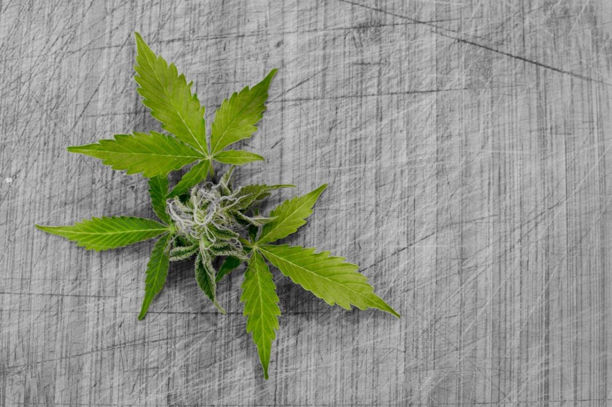 Legalización de la marihuana en Canadá, ¿ejemplo a seguir en España?